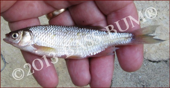 Shiner Minnow