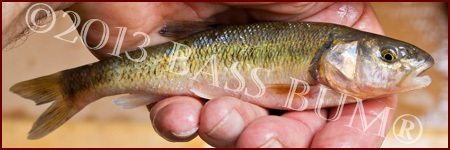 Creek Chub Minnow