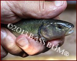 Live Bait - Creek Chub