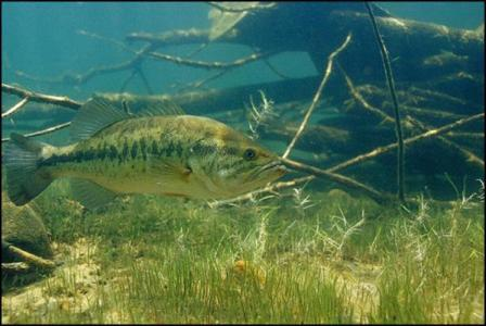 Typical Largemouth Bass Habitat