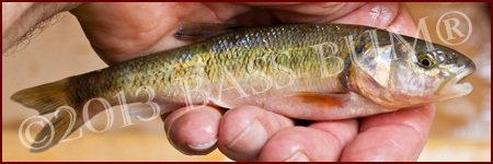 Baitfish - Creek Chub