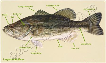Fish anatomy and the external and internal anatomy of black bass
