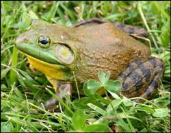 Live Bait - Bullfrog 3