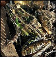 Live Bait - Leopard Frog