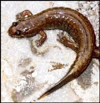 Live Bait - Spring Lizard